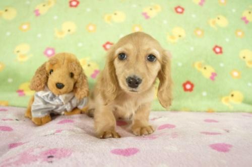 カニンヘンダックスフンド(ロング)の子犬(ID:1255011239)の2枚目の写真/更新日:2017-03-14