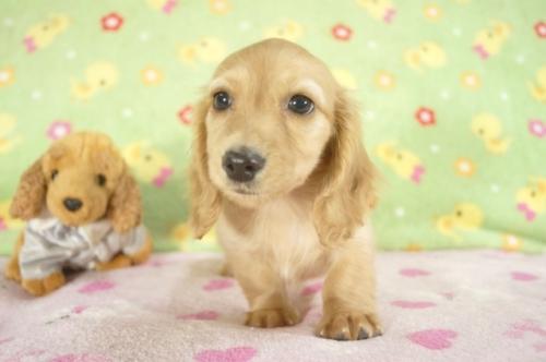 カニンヘンダックスフンド(ロング)の子犬(ID:1255011239)の3枚目の写真/更新日:2017-02-21
