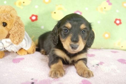 カニンヘンダックスフンド(ロング)の子犬(ID:1255011240)の1枚目の写真/更新日:2017-02-21