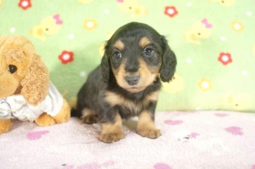 カニンヘンダックスフンド(ロング)の子犬(ID:1255011240)の2枚目の写真/更新日:2017-02-21