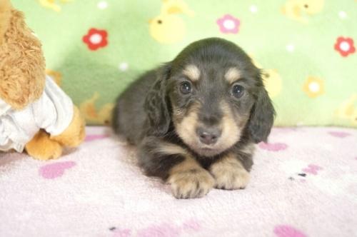 カニンヘンダックスフンド(ロング)の子犬(ID:1255011241)の1枚目の写真/更新日:2017-02-21