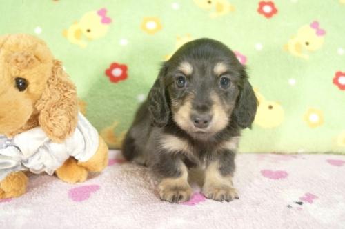 カニンヘンダックスフンド(ロング)の子犬(ID:1255011241)の2枚目の写真/更新日:2017-02-21
