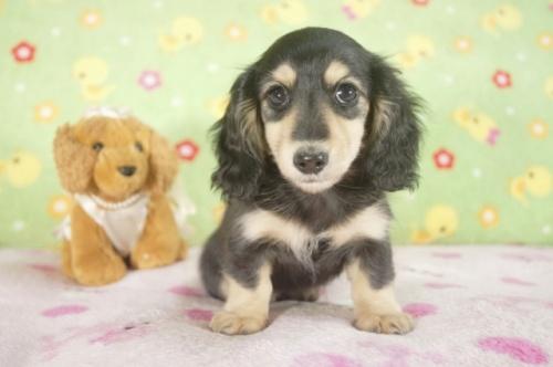 カニンヘンダックスフンド(ロング)の子犬(ID:1255011242)の1枚目の写真/更新日:2017-03-10