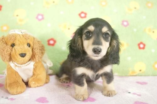 カニンヘンダックスフンド(ロング)の子犬(ID:1255011242)の2枚目の写真/更新日:2017-03-10