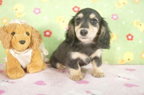 カニンヘンダックスフンド(ロング)の子犬(ID:1255011242)の3枚目の写真/更新日:2017-03-10