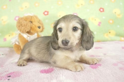 カニンヘンダックスフンド(ロング)の子犬(ID:1255011243)の2枚目の写真/更新日:2017-03-10