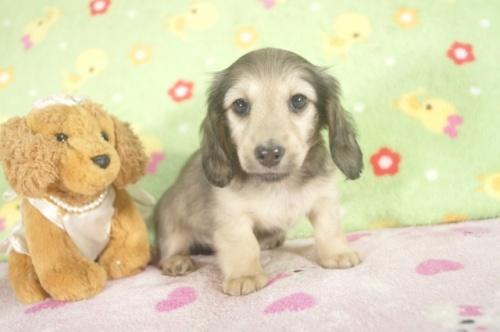 カニンヘンダックスフンド(ロング)の子犬(ID:1255011243)の3枚目の写真/更新日:2017-03-10