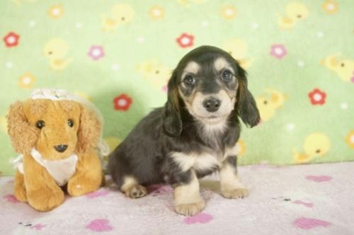 カニンヘンダックスフンド(ロング)の子犬(ID:1255011245)の1枚目の写真/更新日:2017-03-18