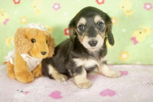 カニンヘンダックスフンド(ロング)の子犬(ID:1255011245)の3枚目の写真/更新日:2017-03-18