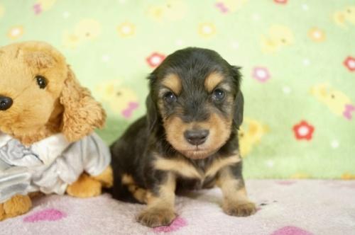 カニンヘンダックスフンド(ロング)の子犬(ID:1255011246)の2枚目の写真/更新日:2017-03-18