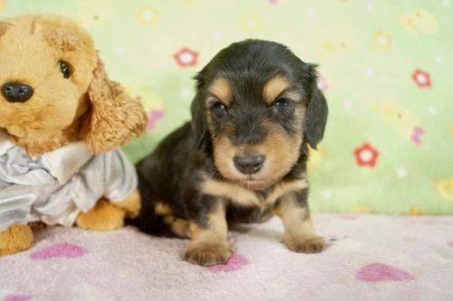 カニンヘンダックスフンド(ロング)の子犬(ID:1255011246)の3枚目の写真/更新日:2017-03-18