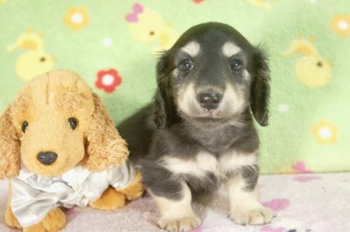 ミニチュアダックスフンド(ロング)の子犬(ID:1255011248)の2枚目の写真/更新日:2017-05-10