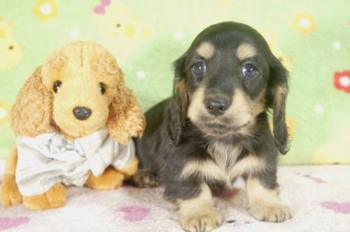 ミニチュアダックスフンド(ロング)の子犬(ID:1255011249)の2枚目の写真/更新日:2017-05-10