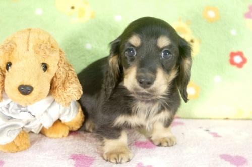 ミニチュアダックスフンド(ロング)の子犬(ID:1255011249)の3枚目の写真/更新日:2017-05-10