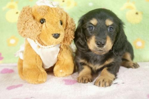 ミニチュアダックスフンド(ロング)の子犬(ID:1255011250)の1枚目の写真/更新日:2017-05-10