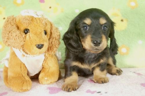ミニチュアダックスフンド(ロング)の子犬(ID:1255011250)の2枚目の写真/更新日:2017-05-10