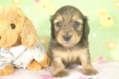 ミニチュアダックスフンド(ロング)の子犬(ID:1255011251)の2枚目の写真/更新日:2017-05-10