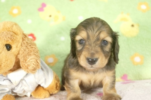 ミニチュアダックスフンド(ロング)の子犬(ID:1255011251)の3枚目の写真/更新日:2017-05-10