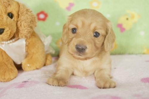 ミニチュアダックスフンド(ロング)の子犬(ID:1255011252)の1枚目の写真/更新日:2017-05-19