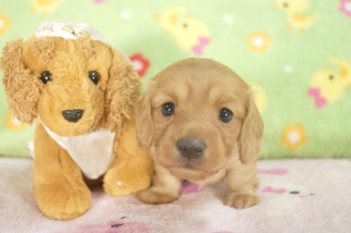 ミニチュアダックスフンド(ロング)の子犬(ID:1255011252)の2枚目の写真/更新日:2017-05-19