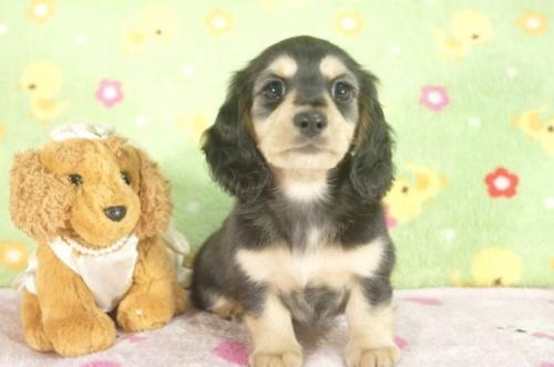 ミニチュアダックスフンド(ロング)の子犬(ID:1255011253)の2枚目の写真/更新日:2017-05-19