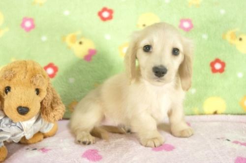 ミニチュアダックスフンド(ロング)の子犬(ID:1255011255)の1枚目の写真/更新日:2017-06-16