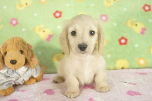 ミニチュアダックスフンド(ロング)の子犬(ID:1255011255)の2枚目の写真/更新日:2017-06-16