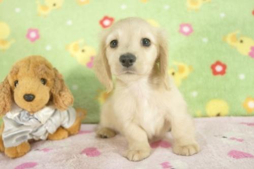 ミニチュアダックスフンド(ロング)の子犬(ID:1255011255)の3枚目の写真/更新日:2017-06-16