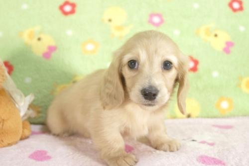 ミニチュアダックスフンド(ロング)の子犬(ID:1255011260)の1枚目の写真/更新日:2017-06-16