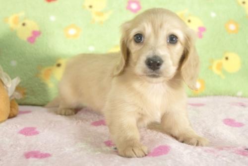 ミニチュアダックスフンド(ロング)の子犬(ID:1255011260)の2枚目の写真/更新日:2017-06-16