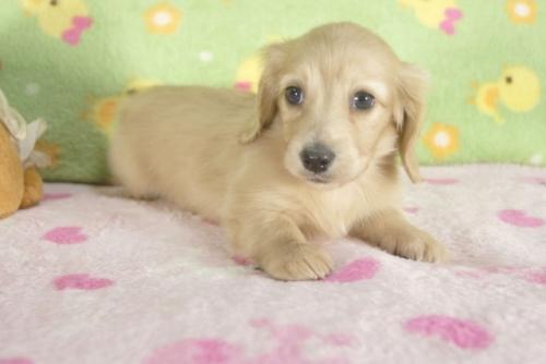 ミニチュアダックスフンド(ロング)の子犬(ID:1255011260)の3枚目の写真/更新日:2017-06-16