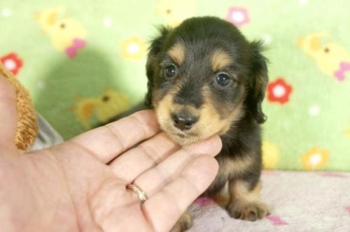 ミニチュアダックスフンド(ロング)の子犬(ID:1255011262)の1枚目の写真/更新日:2017-07-03