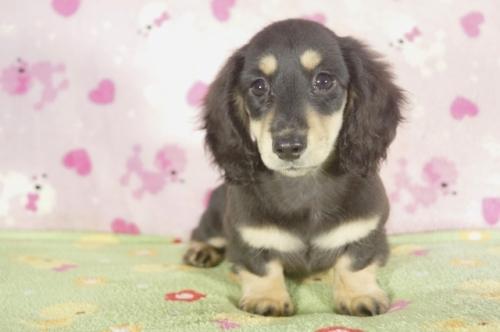 ミニチュアダックスフンド(ロング)の子犬(ID:1255011263)の2枚目の写真/更新日:2017-08-08