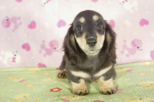 ミニチュアダックスフンド(ロング)の子犬(ID:1255011263)の3枚目の写真/更新日:2017-08-08