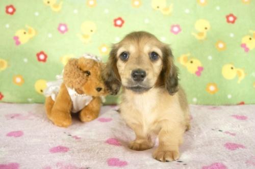 ミニチュアダックスフンド(ロング)の子犬(ID:1255011265)の1枚目の写真/更新日:2017-07-10