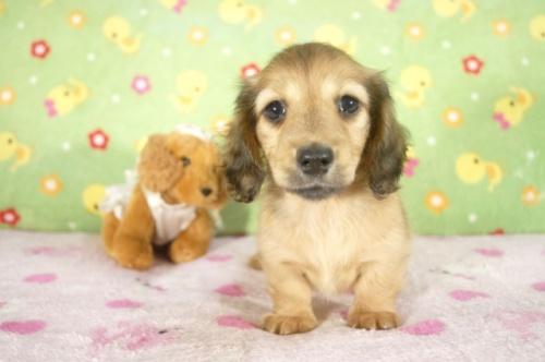 ミニチュアダックスフンド(ロング)の子犬(ID:1255011265)の2枚目の写真/更新日:2017-07-10