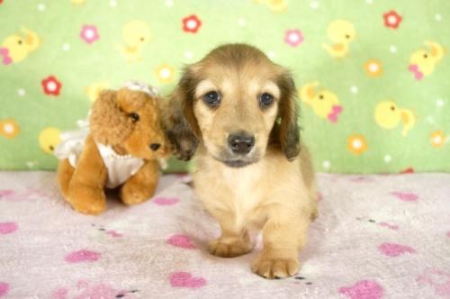 ミニチュアダックスフンド(ロング)の子犬(ID:1255011265)の3枚目の写真/更新日:2017-07-10
