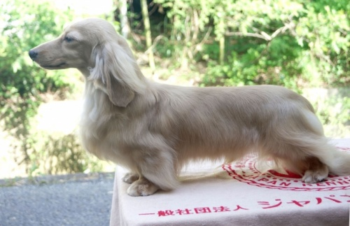 ミニチュアダックスフンド(ロング)の子犬(ID:1255011265)の4枚目の写真/更新日:2017-07-10