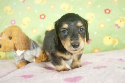 ミニチュアダックスフンド(ロング)の子犬(ID:1255011266)の2枚目の写真/更新日:2017-07-10