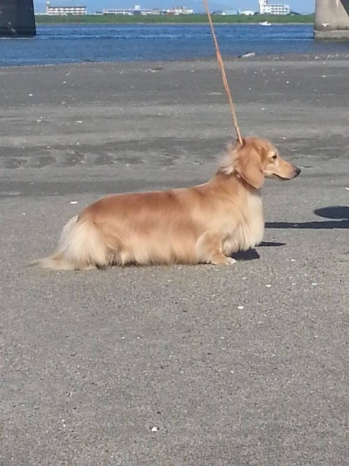 ミニチュアダックスフンド(ロング)の子犬(ID:1255011266)の4枚目の写真/更新日:2017-07-10