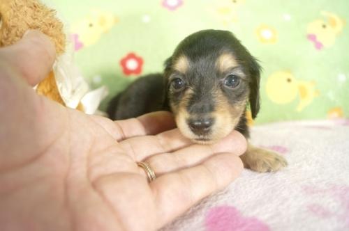 ミニチュアダックスフンド(ロング)の子犬(ID:1255011267)の1枚目の写真/更新日:2017-07-10