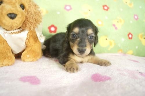 ミニチュアダックスフンド(ロング)の子犬(ID:1255011267)の2枚目の写真/更新日:2017-07-10