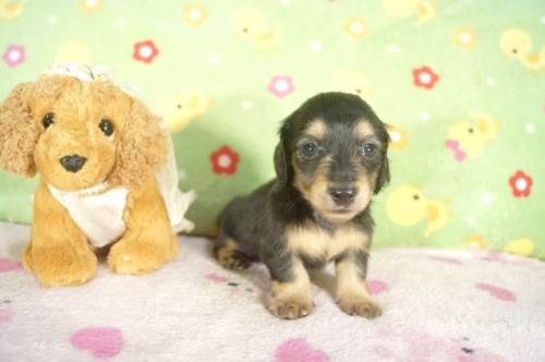 ミニチュアダックスフンド(ロング)の子犬(ID:1255011267)の3枚目の写真/更新日:2017-07-10