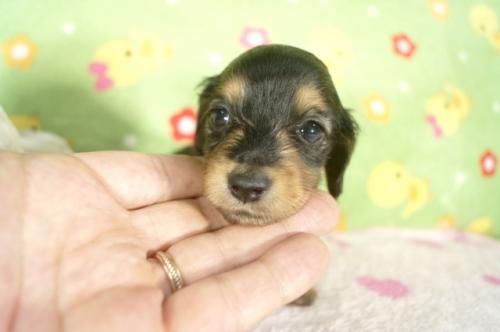ミニチュアダックスフンド(ロング)の子犬(ID:1255011268)の1枚目の写真/更新日:2017-07-10