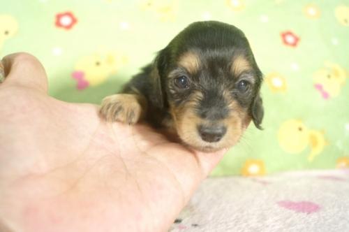 ミニチュアダックスフンド(ロング)の子犬(ID:1255011268)の2枚目の写真/更新日:2017-07-10