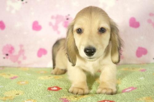 ミニチュアダックスフンド(ロング)の子犬(ID:1255011270)の1枚目の写真/更新日:2017-07-31