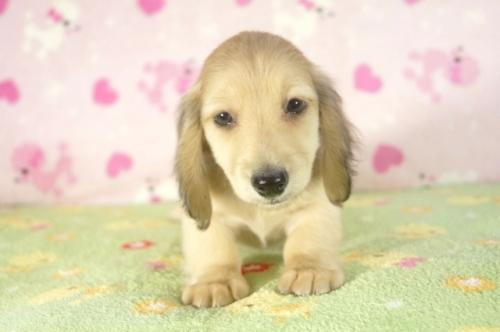 ミニチュアダックスフンド(ロング)の子犬(ID:1255011270)の2枚目の写真/更新日:2017-07-31
