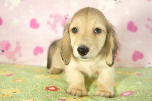 ミニチュアダックスフンド(ロング)の子犬(ID:1255011270)の3枚目の写真/更新日:2017-07-31