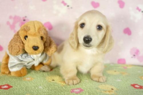 ミニチュアダックスフンド(ロング)の子犬(ID:1255011271)の1枚目の写真/更新日:2017-07-31