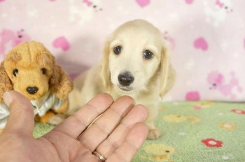 ミニチュアダックスフンド(ロング)の子犬(ID:1255011271)の2枚目の写真/更新日:2017-07-31